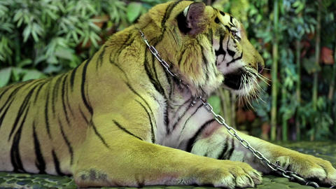 Tiger on iron leash in zoo Live Action