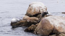 harbor seals Footage