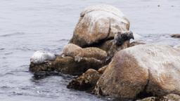 harbor seals Footage