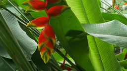 Heliconia In Garden stock footage