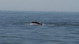 whale pectoral fin slap Footage