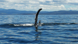 humpback whale fin slapping Footage