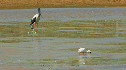 black-necked stork and spoonbill Footage