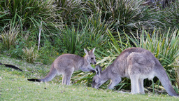 kangaroo joey and mother Footage