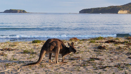 kangaroo on beach Footage