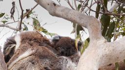 koala joey scratching Footage