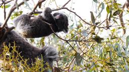 acrobatic baby koala Footage