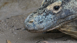 komodo dragon Footage