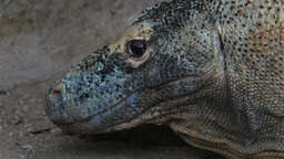 komodo dragon close up Footage