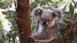 koala bear Footage
