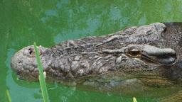 large crocodile Footage