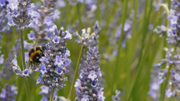 bee on lavender Footage
