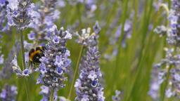 bee on lavender Footage