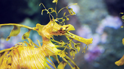 leafy sea dragon close up Footage