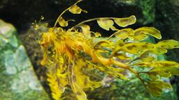 leafy sea dragon swimming Footage