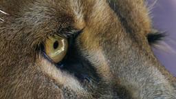 lion's eye closeup Live Action