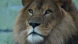 lion Footage