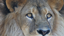 male lion eye close up Footage