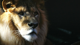 male lion Live Action