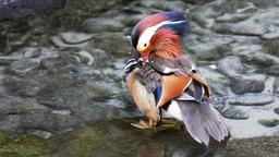 mandarin duck Footage