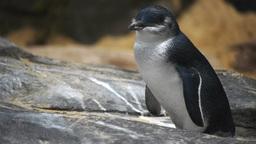 little penguin Footage