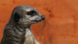 meerkat close up Footage