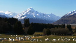 Mt Cook And Sheep stock footage