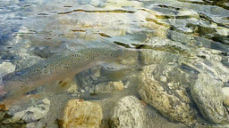 nz brown trout release Footage