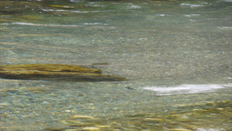 nz brown trout in river Footage