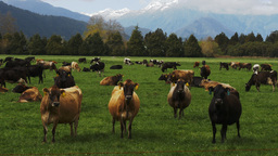 nz dairy cows Footage