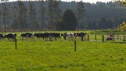 new zealand dairy cows Footage