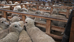 merino ewes in pens Footage
