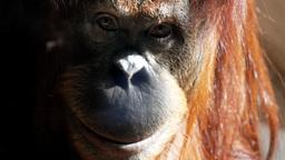orangutan smiles Footage