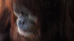 young orangutan close up Footage