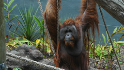 orangutan Live Action