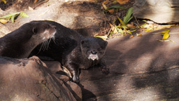 oriental small clawed otters Footage