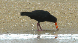 oystercatcher Footage