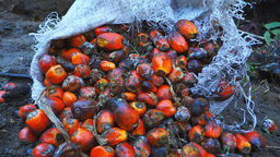 palm oil fruits Footage