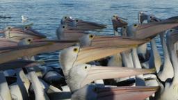 pelicans nodding Footage