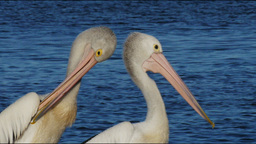 two pelicans Footage