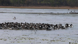 pelican flock feeding at a billabong Footage