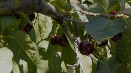 picking cherries-2 Footage