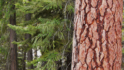 pine tree trunk Footage