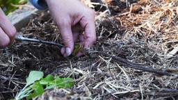 woman planting lettuce Footage