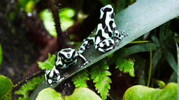 poison dart frogs Footage