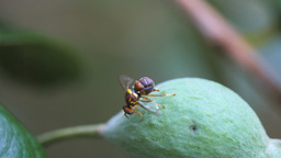 queensland fruit fly laying eggs Footage
