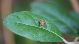 queensland fruit fly on a feijoa leaf Footage