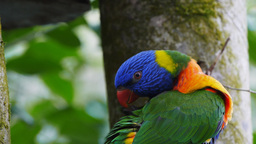 rainbow lorikeet Footage