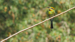 rainbow bee-eater on a branch Footage