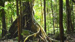 giant rainforest tree Footage